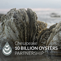 10 Billion Oysters for a Clean Chesapeake Bay