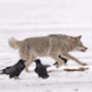 critterwolf60